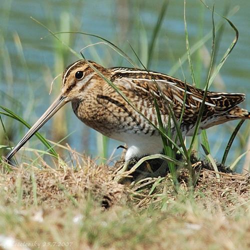 болотная птица сканворд