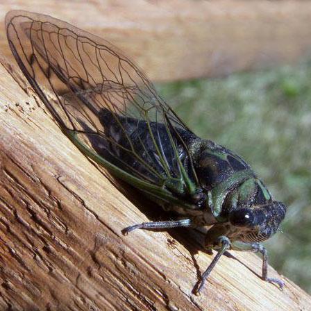 стрекочущее насекомое сканворд 6 букв