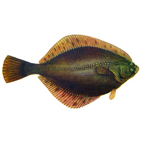 рыба семейства камбал