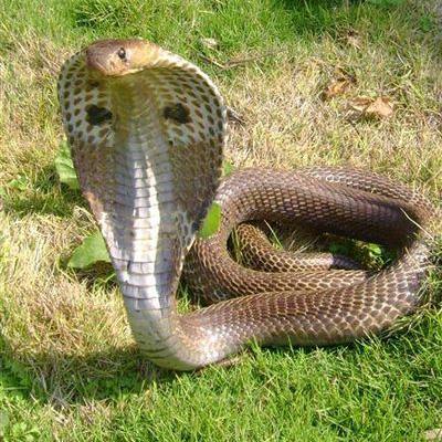 индийская кобра сканворд