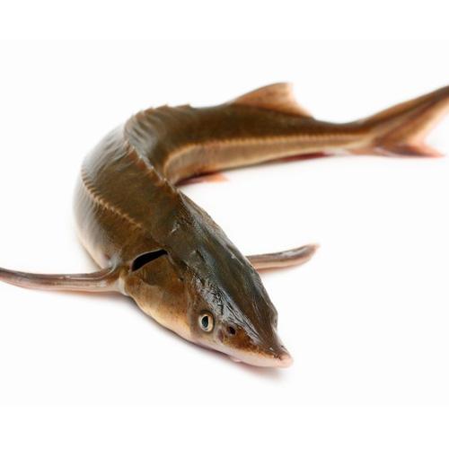 промысловая рыба 5 букв на х
